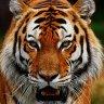 TigerAnGiang